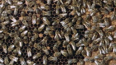 Der Bienenstaat