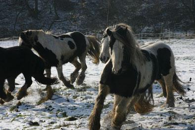 Freie Bewegung bei jedem Wetter in harmonischer Herde tut wohl jedem Pferd gut! Foto: U. Klassen