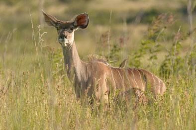 Ein Kudu-Weibchen. Markenzeichen sind die im Verhältnis zum Kopf großen Ohren und beim Männchen die gewaltigen geschraubten Hörner.