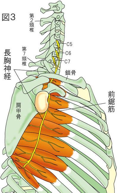 長胸神経 前鋸筋