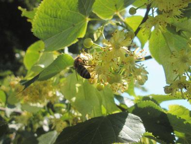 Biene auf Lindenblüten