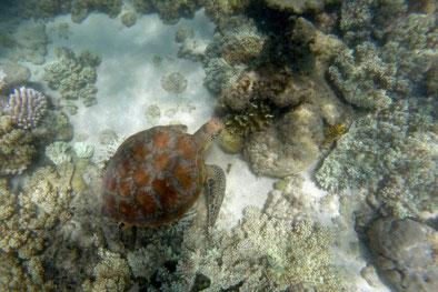 Great Barrier Reef, Schnorcheln, Schildkröten, Australien