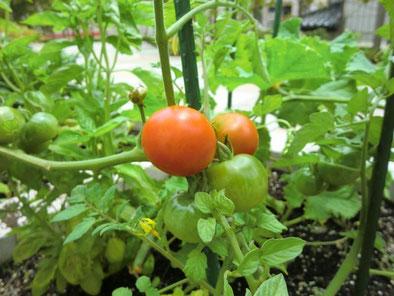 食べごろのトマト