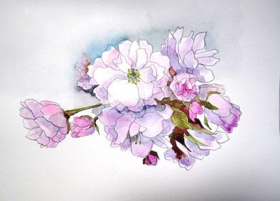 水彩画 普賢桜
