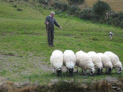 Die Border-Collies sind beim irischen Sheepdog-Trial folgsame Befehlsempfänger und ausführende Gewalt zugleich