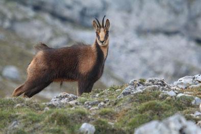 Pyrenäen-Gämse in den Picos de Europa