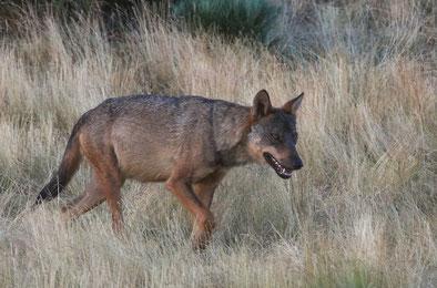 Iberischer Wolf