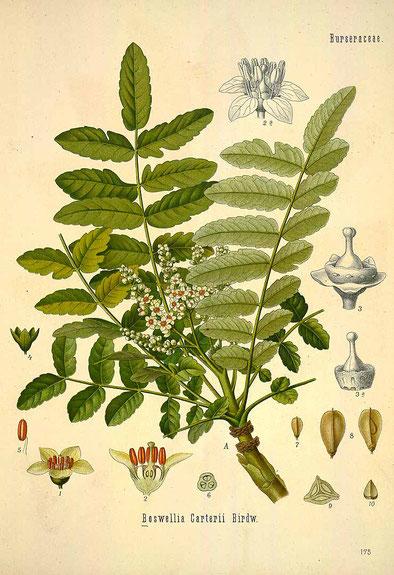 """BOSWELLIA CARTERII - Illustration aus """"Köhler's Atlas der Medizinalpflanzen"""" 1887 - BILD: Verwendung gemeinfrei."""
