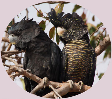 Male and Female forest redtail black cockatoos