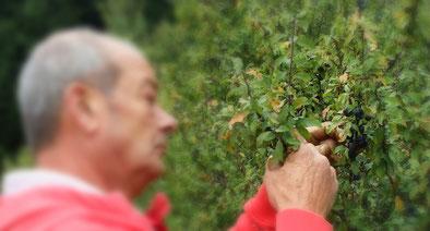 Schlehe Früchte Strauch blau Herbst sammeln