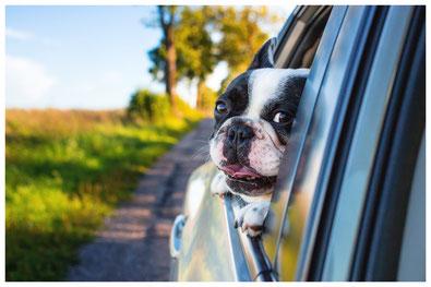 Hund schaut aus dem Fenster und freut sich auf das Dogwalking