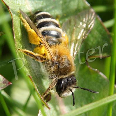 21.04.2016 : Wildbiene mal abseits einer Blüte