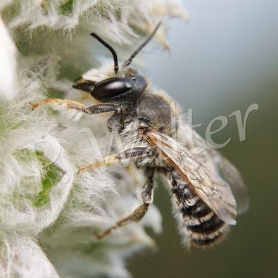 15.07.2015 : Wildbiene am Woll-Ziest