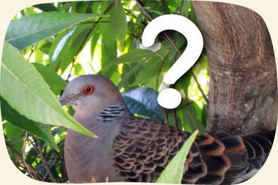 庭木の剪定してるとよく出くわす抱卵中の鳩さん(笑)【門西造園|浜松市】