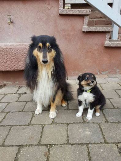 A- Wurf with Speed and Sound - Shelties und Border Collies
