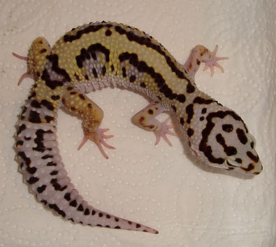 Bold Striped female (Bandit line)