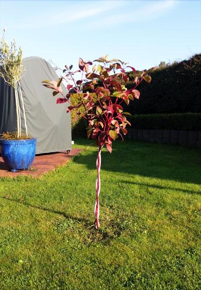 Kölnbäumchen® Rot-Weiß (Herbstanfang)