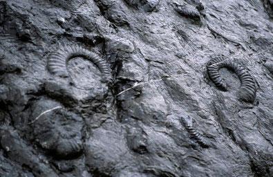 Eine einzigartige Ammonitenplatte bei Digne-les-Bains, Haute Provence, etwa 200 Millionen Jahre alt.