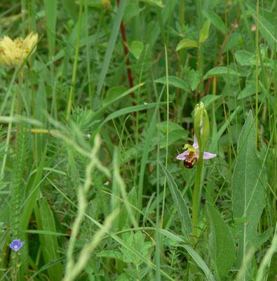 Bienenragwurz (Foto: Tanja Frischgesell)