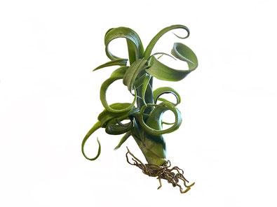 Tillandsia curly slim