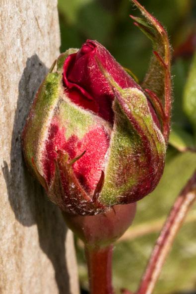 rosenknospe-einer-weinbergrose