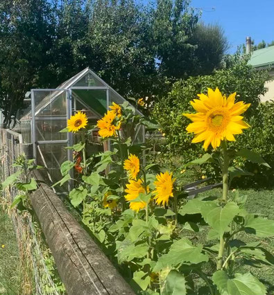 Greenhouse with sunflowers