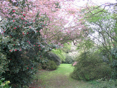 Part of The Grange garden in 2008. Collingwood Ingram's influence, if not all of his plants, remain in the natural look of its woodland glades.