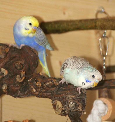 Unsere Quasselstrippe Sam (gelber Kopf) und unser Frechdachs Eve (blau-weiß)