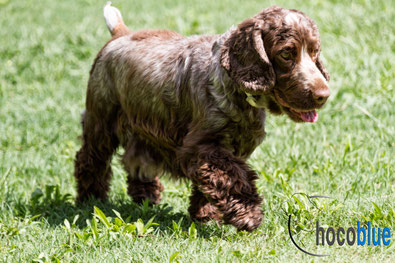 ♀ Love Me Do Shimmer - Cocker Spaniel Inglés