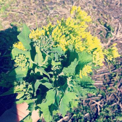 菜花の美味しい季節がやってきました^^畑でせっせと摘んだら、春の菜花ブーケの完成!です^^摘みたてのつぼみ菜や菜の花をゆでると…春の苦味が体に染みわたります〜!