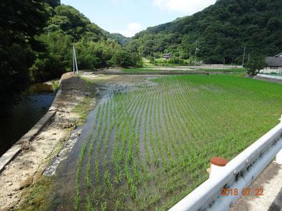 2週間後、稲が元気に成長してきました。(左写真と同じ場所)