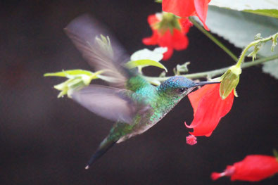 Kolibri in Florianopolis
