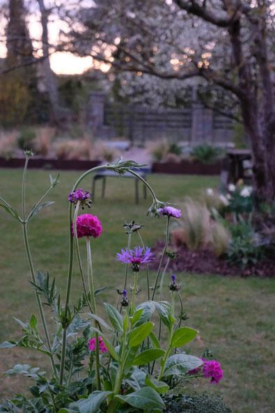 dieartigeGARTEN // April, Frühlingsgarten - Neuzugänge-Witwenblume, Kugelprimel+Bergflockenblume