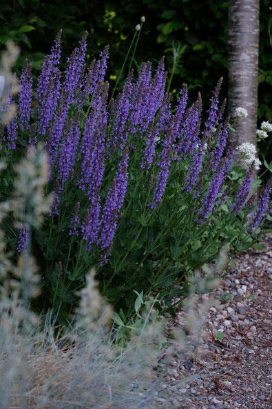 dieartigeGARTEN //  Steppensalbei 'Blauhügel', Blauschwingel + Weiße Spornblume