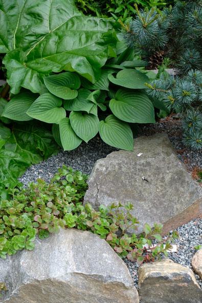 dieartigeGARTEN // Mai Frühlingsgarten - Japanischer Bauerngarten - Blattstrukturen m. Sedum, Funkie, Jap. Kiefer, Rhabarber