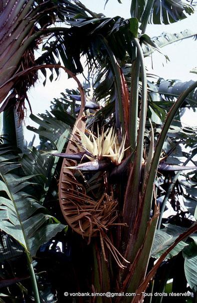 Annaba (Bône) - Strelitzia augusta