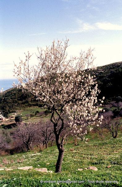 [062-1983-74] Annaba (Bône) - Amandier en fleurs