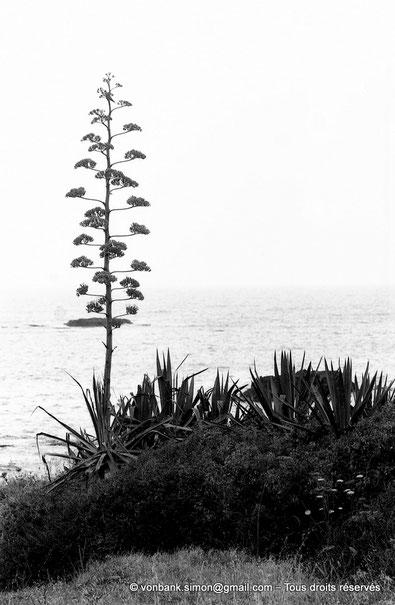 Agave - Tipasa de Maurétanie - Algérie - Afrique du Nord