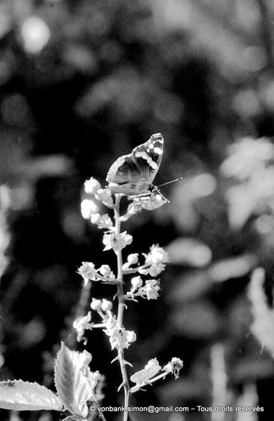 DZ El Tarf : Papillon Vulcain (Vanessa atalanta)