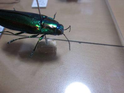 甲虫の昆虫標本