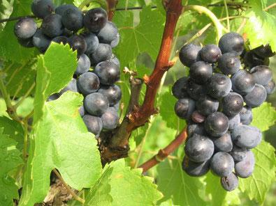 chambres d'hotes dans l'aude chez vignerons