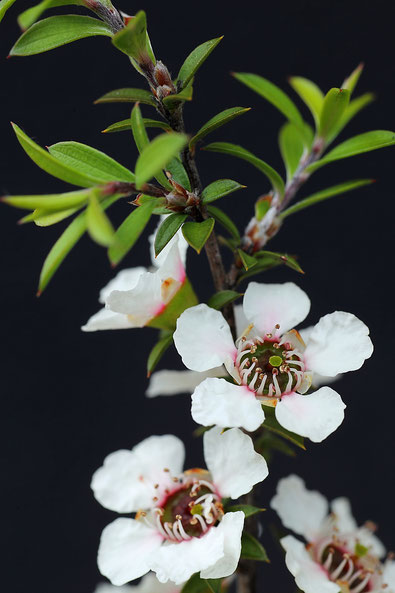 Fleurs de Manuka sous fond gris
