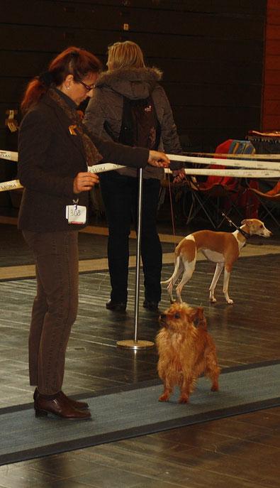Hirilonde von den Grauen Anfurten BOB Festival der Hundefreunde 2013 Castrop-Rauxel