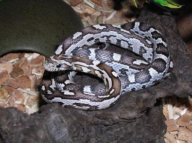 Lakra = Kornnatter Anersthristic aztec