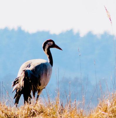 Kranich, Vogelbeobachtung Mecklenburger Seenplatte