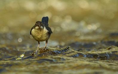 Wasseramsel, Vogelbeobachtung Mecklenburger Seenplatte