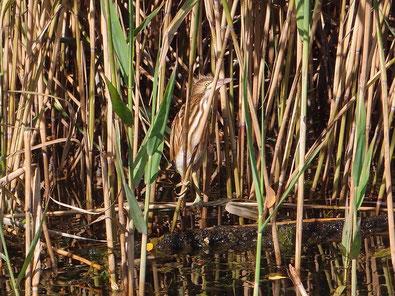Rohrdommel, Vogelbeobachtung Mecklenburger Seenplatte