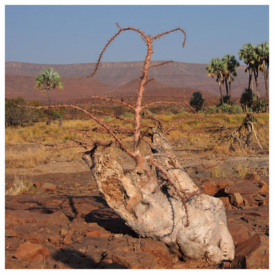 Pachypodium de Namibie