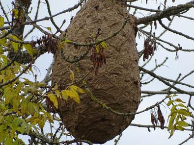nid de frelons, guépes asiatiques.