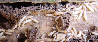 ©Sentri Tech, infestation de termites